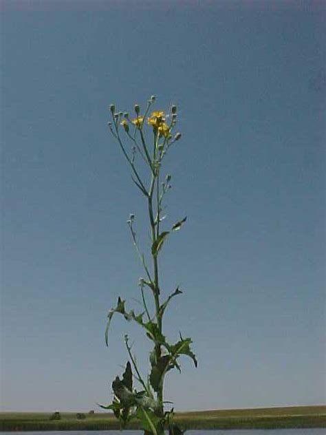 Perennial Sow Thistle 1