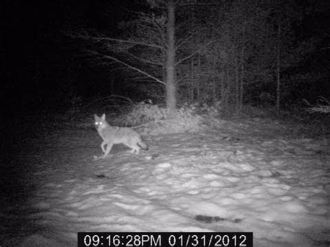 Coyotes at night from Wildgame Innovations x10cg trail cam