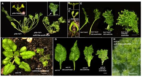Figures and data in Active suppression of a leaf meristem