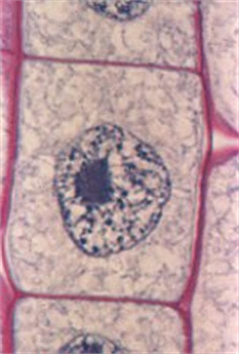16 Mitosis and Meiosis Lab