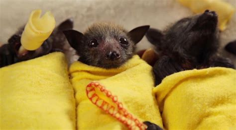 This video proves bats can be just as cute as babies   The