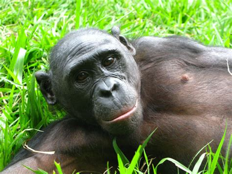 Primate scream: Bonobos make most noise when mating with