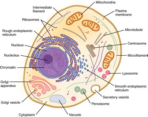 | Cytoplasm Animal Cell FunctionCytoplasm Animal Cell