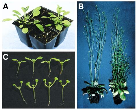 MAX1 and MAX2 control shoot lateral branching in