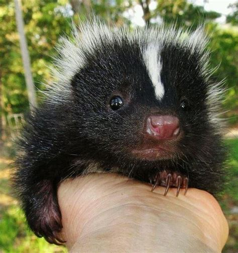 Baby Skunks That Will Make You Feel Better About Life