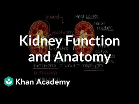 Kidney function and anatomy (video)   Khan Academy
