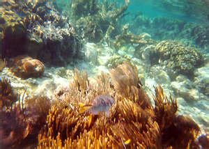 Coral Reproduction- How do they do it? Belize Barrier Reef